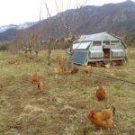 BreederArcanido - pollaio-poultry house- hen house - poulailler pour poulets ou pondeuses